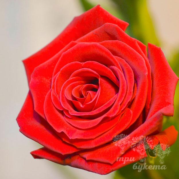 Розы российские поштучно